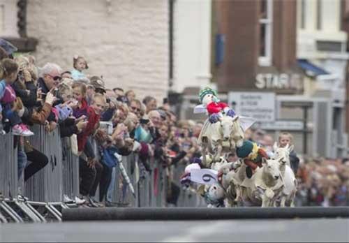 مسابقه باحال و خنده دار گوسفند سواری (عکس)
