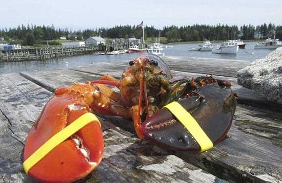 خرچنگ عجیب 2 رنگ (عکس)