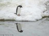 رفتار غیرعادی پنگوئن خودشیفته (عکس)