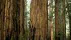 تصاویر مهیج از صعود ماجراجویان بر درخت عظیم الجثه