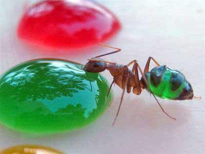 مورچه های عجیب رنگارنگ ( عکس)