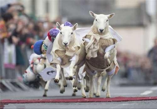 سایت تلگرام سلنا گومز مسابقه باحال و خنده دار گوسفند سواری (عکس)