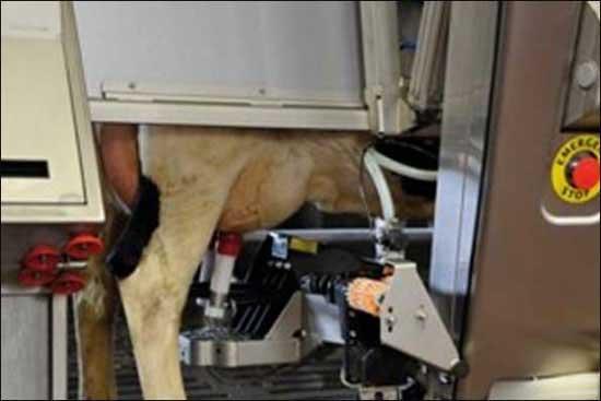 گاوها هم دیگر خود کفا شدند ! (عکس)