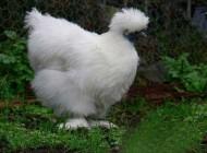 غذای این مرغ زغاله؟؟ (عکس)