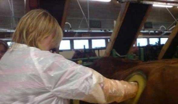 ایجاد سوراخ عجیب بر روی شکم گاو ها (عکس)