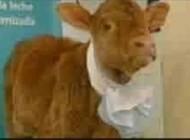 گاوی که می تواند شیر انسان تولید کند..(عکس)