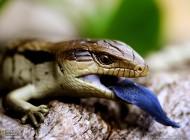 مارمولک زبان آبی..(عکس)