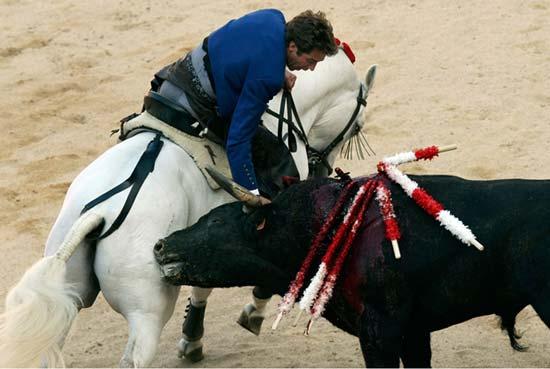 زمانی برای دیوانگی گاوها..(تصاویر)