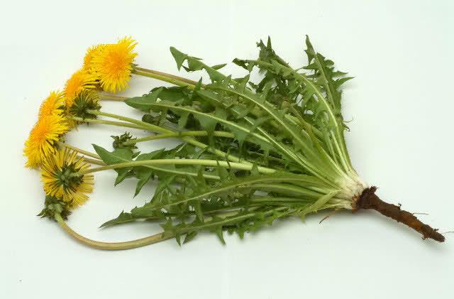 گیاه قاصدک برای درمان سنگ کلیه و کیسه صفرا..!