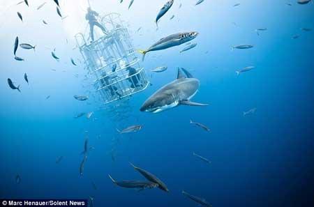 فرار مهیج شیر دریایی از دست کوسه سفید (عکس)