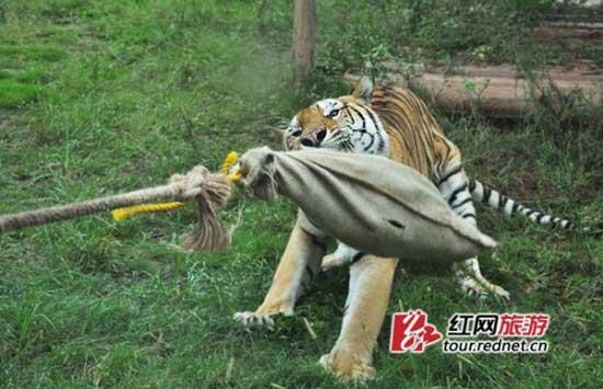 مسابقه مهیج طناب کشی با ببر بازیگوش (عکس)