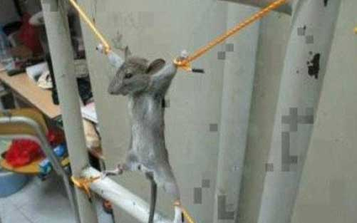 شکنجه وحشیانه یک موش بیچاره (عکس)