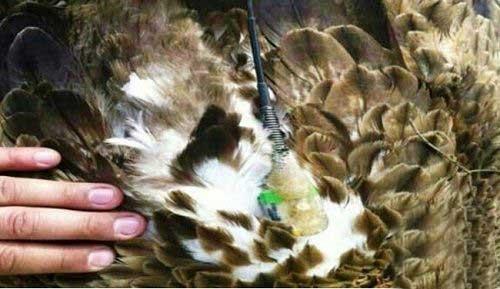 عقابی مجهز به فرستنده جاسوسی (عکس)