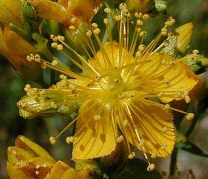 گیاهانی که به افسردگی حمله میکنند