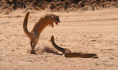 تصاویر مهیج جدال بین خدنگ و مار وحشی