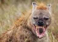 این حیوان زشت ترین خنده دنیا را دارد (عکس)