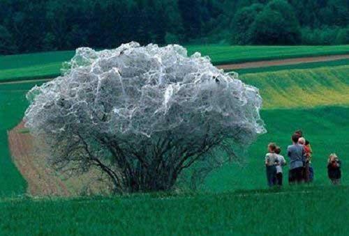 درختی با لباس 1000 ابریشم (عکس)