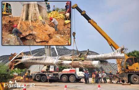 دزدیده شدن درخت چندین ساله خبرساز شد (عکس)