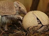 عکس جالب حیواناتی که توپی شکل هستند