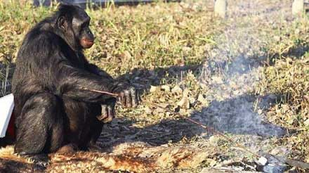 تا حالا میمون آشپز دیده بودید؟ (+عکس)