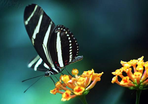 تصاویری از پروانه های زیبا و جذاب