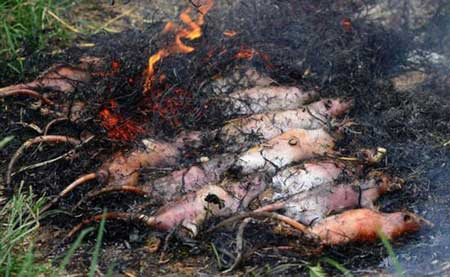 عکس هایی از مراحل کباب کردن موش در ویتنام