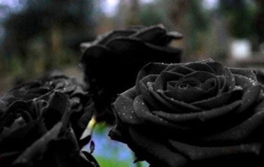 یکی از کمیاب ترین گل رز در جهان + عکس