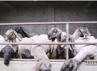 گوسفندهای عجیب دو میلیارد تومانی! (+عکس)