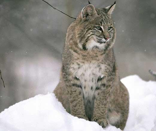 تصاویری از موش برفی برای شام در برابر گربه سیاه گوش