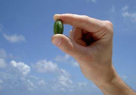 تصاویری از کوچکترین هندوانه در دنیا