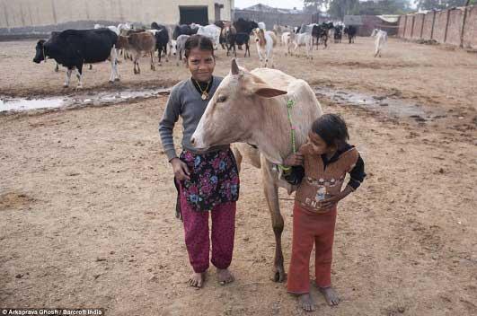 نوشیدن ادرار گاو برای درمان بیماری ها در هند! +عکس