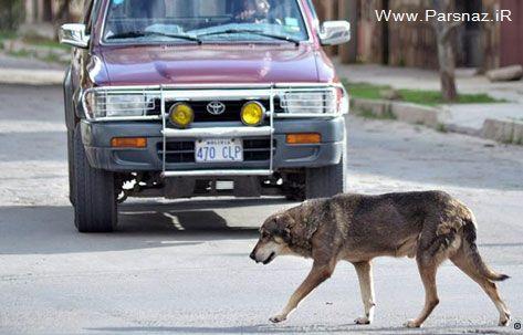 وفاداری شگفت انگیز این سگ به صاحب مرده اش + عکس