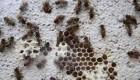 حمله زنبورهای عسل زومبی به ایالت ورمونت در آمریکا