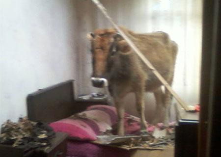 فرود عجیب یک گاو از سقف بر روی تختخواب!! +(عکس)