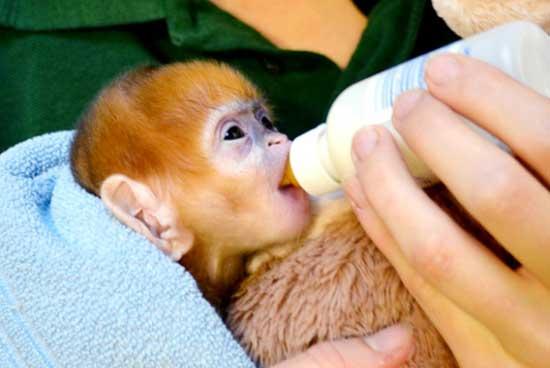 دزدیدن میمون های کمیاب از باغ وحشی در هلند + عکس