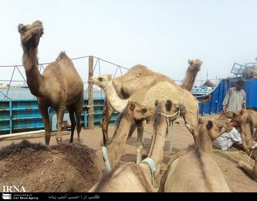 صادرات شتر به كشورهای حاشیه خلیج فارس..(تصاویر)