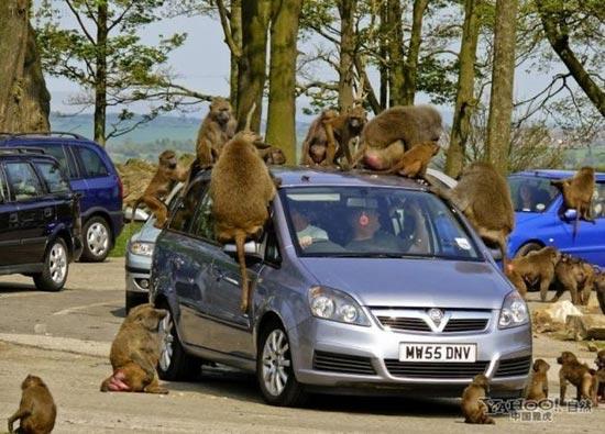 حمله زیرکانه میمون ها به مردم (عکس)