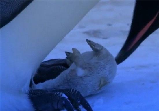 واکنش احساسی یک پنگوئن در مرگ فرزندشان (عکس)