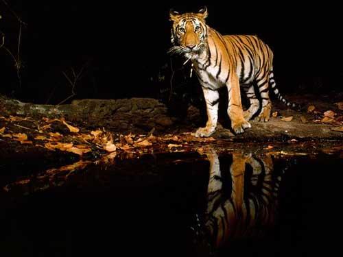 عکسهای ببر وحشی در طبیعت