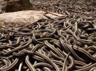 جفت گیری جالب و عجیب هزاران مار نر با یک مار ماده (عکس)