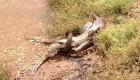 این مار یک کروکودیل را زنده خورد +عکس