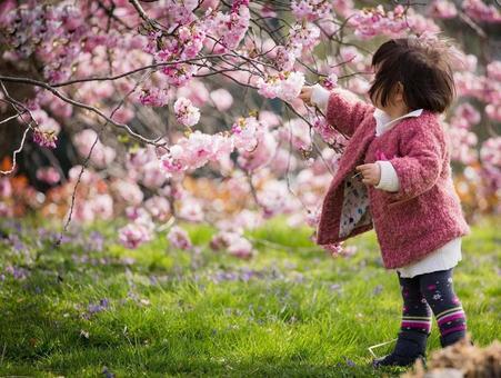 عکس هایی از طبیعت ژاپن زیر شکوفه های گیلاس