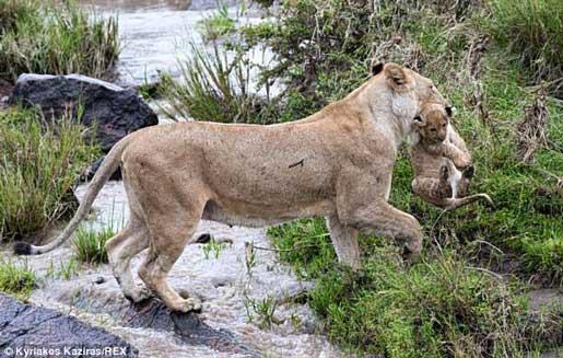 تلاش جالب این شیر ماده برای نجات بچه اش (عکس)