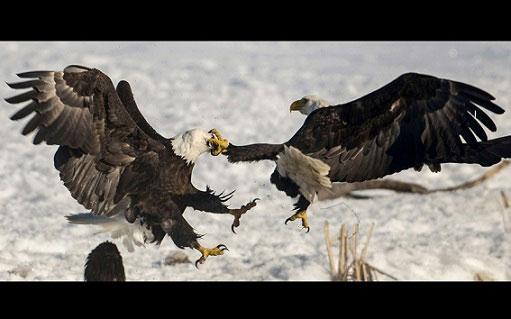 بزن بزن جالب دو عقاب بر سر یک ماهی (عکس)