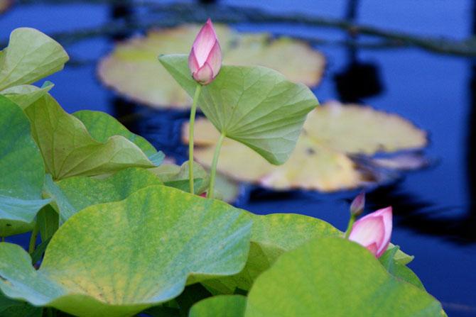 عکسهای زیبا از گل سوسن