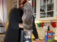 موش به این بزرگی و غول پیکری دیده اید؟ (عکس)