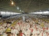 ترفندهای کثیف برخی مرغ داری ها برای سود بیشتر