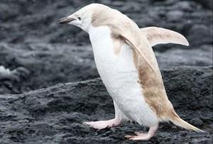 کشف شدن عجیب پنگوئن بلوند در قطب جنوب