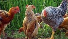 تو مرغی یا پنگوئن ؟؟