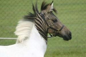 عاقبت جفت گیری گورخر و اسب